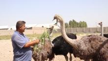 Птицы весом 180 кг: как самаркандский фермер разводит африканских страусов